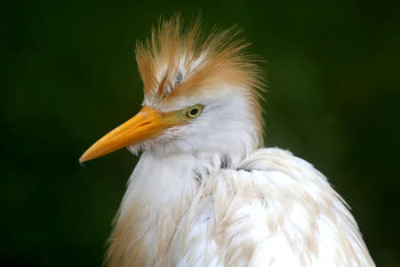 hair do: White egret bird with crest feathers looking like a bad hair do