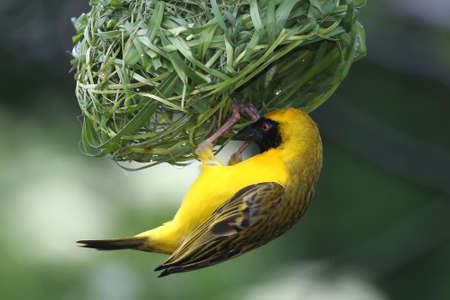 Masked Weaver Bird hanging from its nearly completed nest