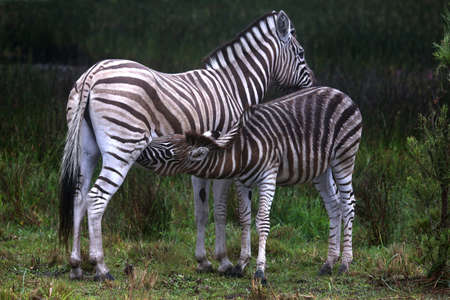 suckling: Young zebra suckling from its mother in South Africa