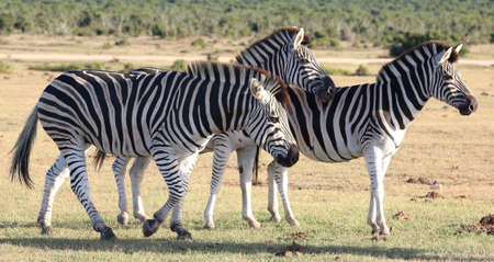 burchell: Three plains zebras with black and white stripes