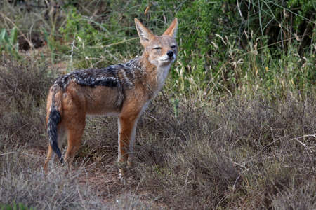 canis: Portrait of a Black Backed Jackal with large ears