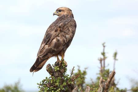 buzzard: Steppe Buzzard Bird of Prey perched on top of a tree