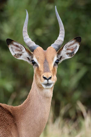gazelle: Young Impala antelope with large ears and horns