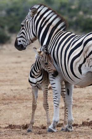 zebra face: Cute baby plains zebra standing next to its protective mother