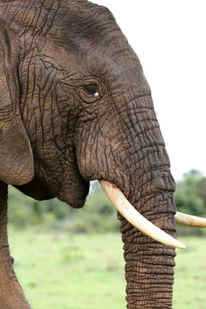 elephant head: Profile of an African elephant with white tusks Stock Photo