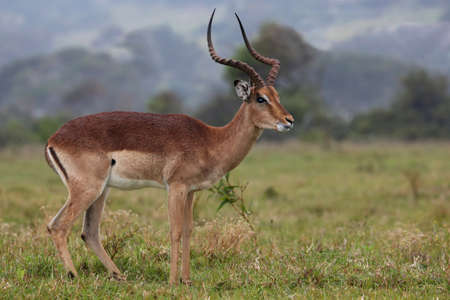 Impala: Handsome and alert Impala antelope ram or buck with long horns