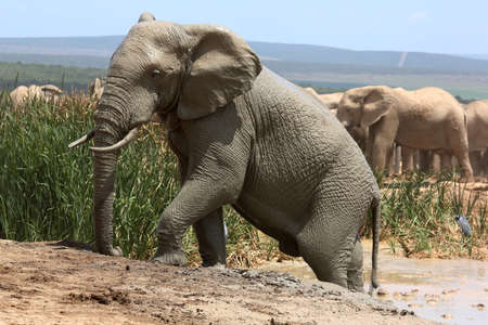 Large African Elephant Climbing out of a mud bath