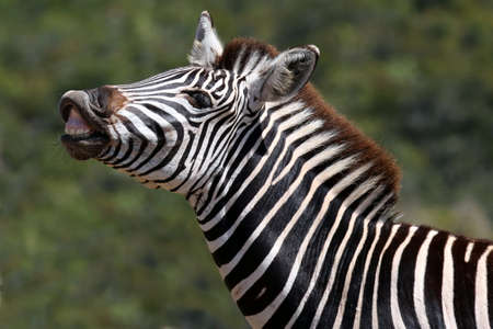 curled lip: Zebra with its lip curled back to scent females