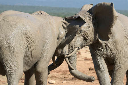 Two muddy African elephants testing each others strength