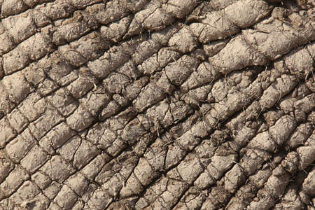 caked: Skin of an African elephant covered in dried mud for protection against sun and pests