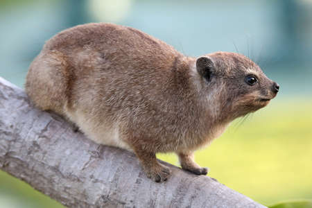 animal limb: Cute Hyrax or Rock Rabbit from South Africa also called Dassie