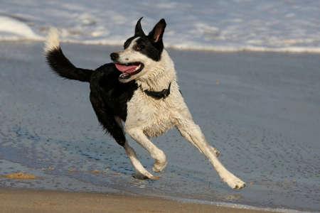 perro corriendo: Perro jugando en el agua de mar en la playa Foto de archivo