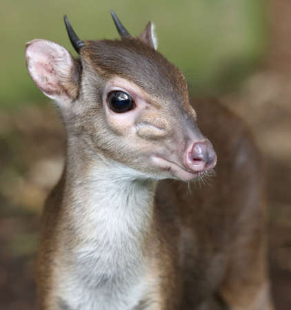 nostrils: The cute and very shy Blue Duiker antelope in the undergrowth of the forest Stock Photo