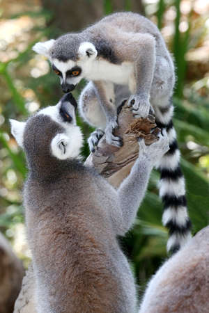primates: Two Lemur primates geeting and smelling each other