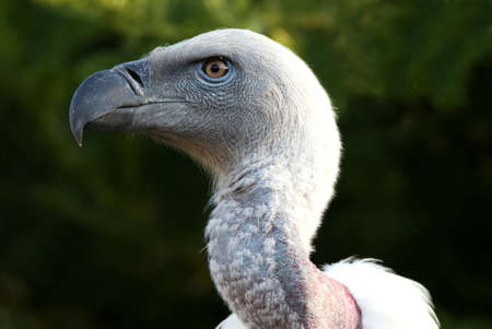 bald ugly: Portrait of a Griffons vulture bird with a large hooked beak