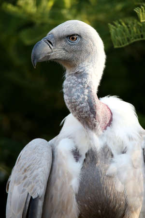 hooked: Portrait of a Griffons vulture bird with a large hooked beak