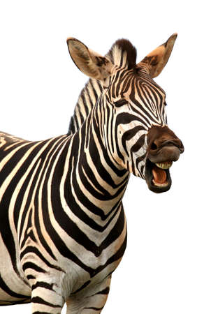 Zebra con una expresión divertida, para que él mira como él está hablando de la risa Foto de archivo