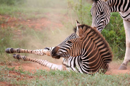 Young zebra having a dust bathe while its mother watches photo