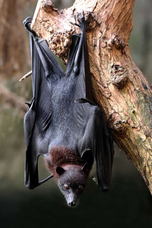 black fox: Flying fox bat hanging from a tree in the forest Stock Photo