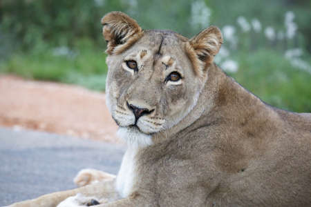 panthera leo: Portrait of a very beautiful lioness with spotty nose