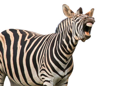 Zebra with a funny expression so that he looks like he is talking of laughing Stock Photo