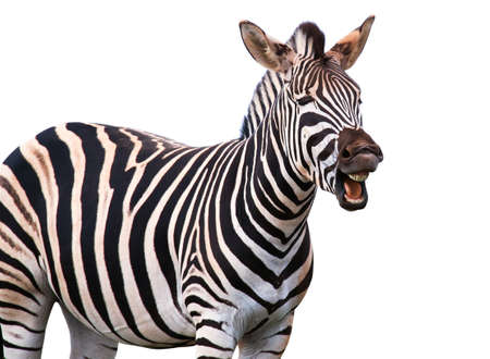 Zebra with a funny expression so that he looks like he is talking of laughing photo