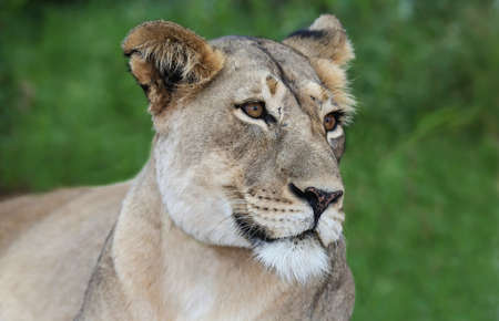 big5: Portrait of a very beautiful lioness with spotty nose
