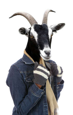 half dressed: Goat dressed in jacket and gloves concept with human body Stock Photo