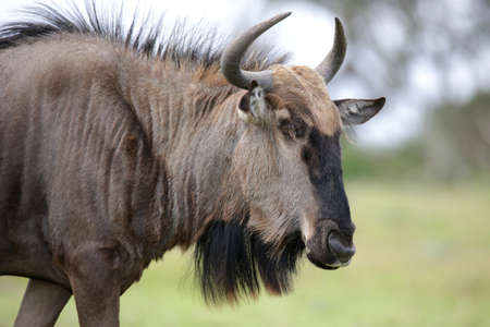 taurinus: Black wildebeest antelope from Africa  with shaggy fur and horns