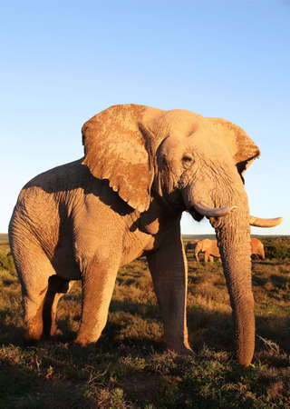 male animal: Large African elephant covered in protective mud standing in afternoon sun Stock Photo