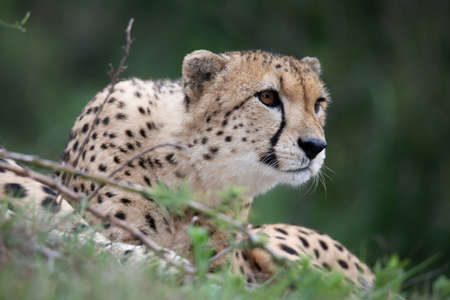 spotted fur: Cheetah wild cat with beautiful spotted fur Stock Photo