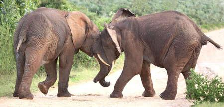 assert: Two male African elephants trying assert their dominance