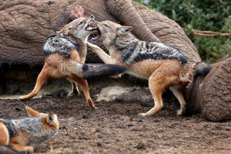 kampfhund: Zwei schwarze gesichert Schakale Kampf um den Kadaver eines toten Elefanten