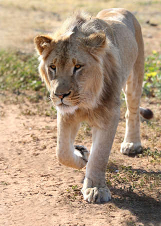 intent: Young male lion walking with intent look on its face