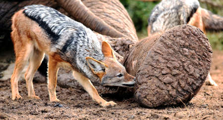 carcass meat: Black backed jackal chewing at the carcass of a dead elephant
