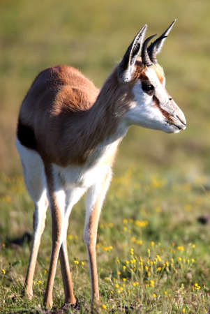 springbuck: Springbuck gazelle with alert ears and curved horns