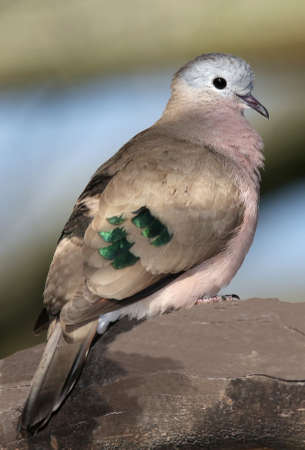 irridescent: Dove  with shiny green feathers on its wings