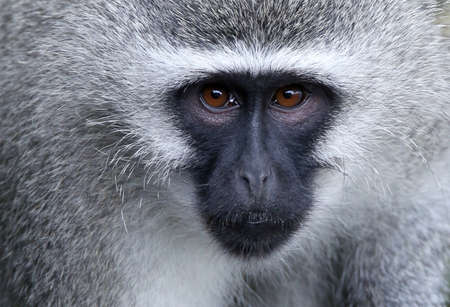 Vervet Monkey For Sale South Africa Vervet Monkey in South