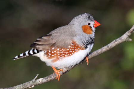 serine: Pretty male zebra finch perched on a branch