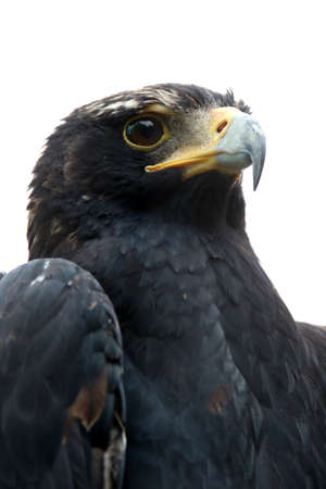 hooked: Portrait of a Black eagle or Verreauxs eagle with a hooked large beak Stock Photo