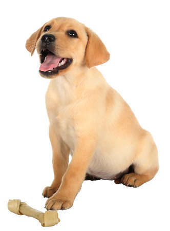rawhide: Cute Labrador puppy with a rawhide bone isolated on white