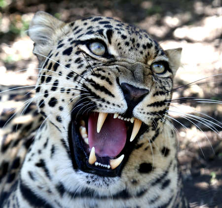 hiss: Beuatiful Leopard wild cat with large fangs and snarling