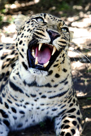 snarling: Beuatiful Leopard wild cat with large fangs and snarling
