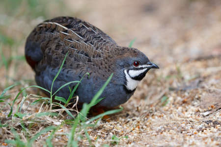 quail: Beautiful male blue quail with black throat patch and red eye Stock Photo