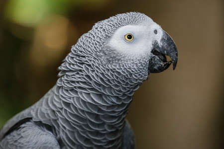 african grey parrot: Portrait of a beautiful African Gray parrot bird