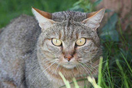 whiskers: Portrait of an African Wilcat with large eyes and long whiskers