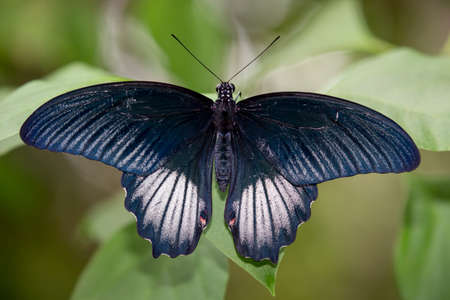 mormon: Scarlet Mormon Butterrfly with beautiful wings Stock Photo