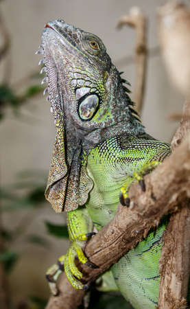 reptile: Green Iguana reptile with delicately detailed skin Stock Photo