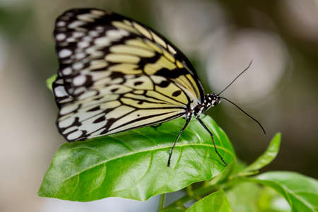 green butterfly: Tree Nymph or Paper Kite Butterfly on a green leaf