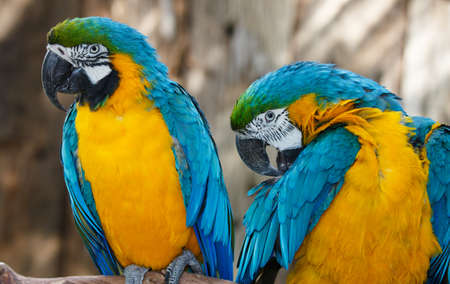 beaks: Portrait of a Macaw parrots with a big curved beaks and beautiful feathers Stock Photo